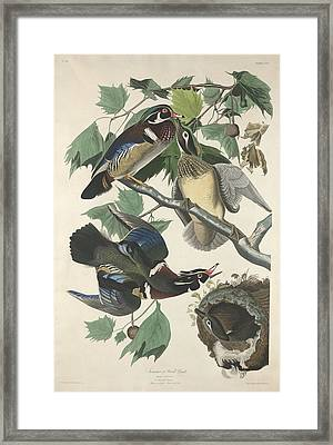 Summer Or Wood Duck Framed Print by Rob Dreyer