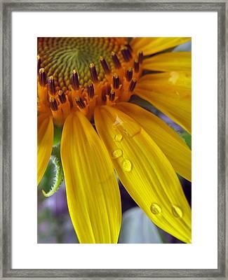 Summer Rain On Sunflower Framed Print by Barbara McDevitt