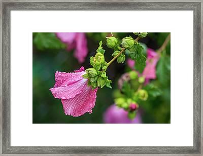 Summer Rain Rose Of Sharon Framed Print