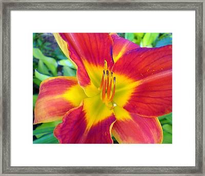 Summer Salsa Lily Framed Print by Cynthia Daniel