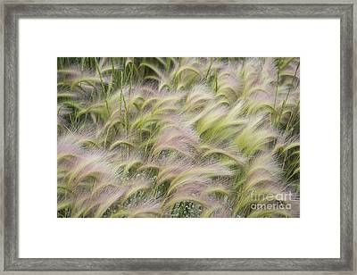 Summer Soft Foxtail Barley Framed Print by The Forests Edge Photography - Diane Sandoval