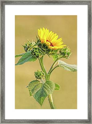 Framed Print featuring the photograph Summer Sunflower Floral by Jennie Marie Schell