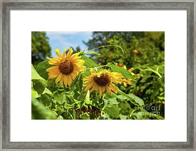 Summer Sunflowers Framed Print