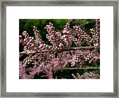 Framed Print featuring the photograph Summer Tamarisk 2 by Jean Bernard Roussilhe