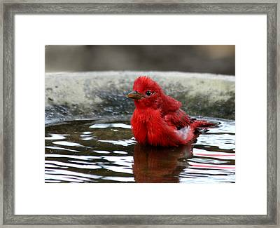 Summer Tanager In Bird Bath Framed Print
