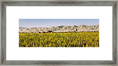 Summer Wheatfield Framed Print