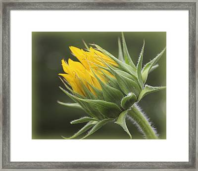 Summer's Promise - Sunflower Framed Print