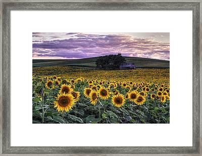 Summertime Sunflowers Framed Print by Mark Kiver