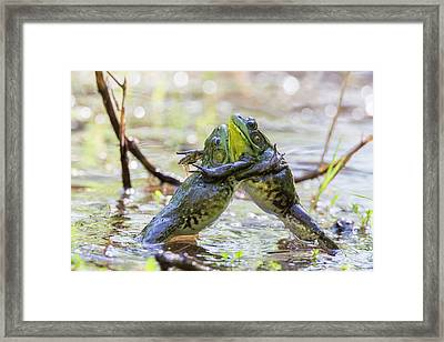 Sumo Wrestling Frogs Framed Print by Mircea Costina Photography