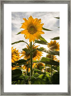 Sun And Sunflowers Framed Print