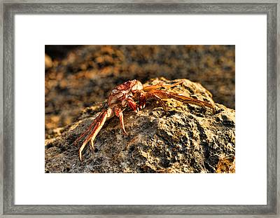 Sun-baked Spider Crab Framed Print