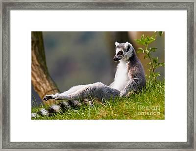 Sun Bathing Ring-tailed Lemur  Framed Print