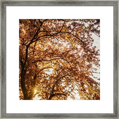 Sun Beams Through Cherry Blossoms Framed Print by Chris Bordeleau