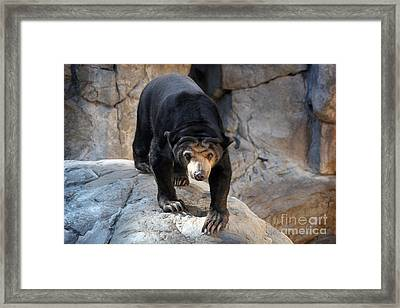 Sun Bear Framed Print by Jeannie Burleson