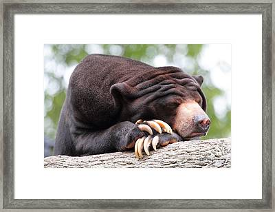 Sun Bear Framed Print