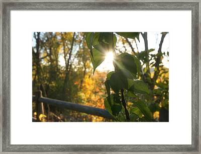 Sun Breaking Through The Leaves Framed Print by Lilia D