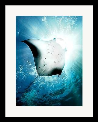 Manta Ray Framed Prints