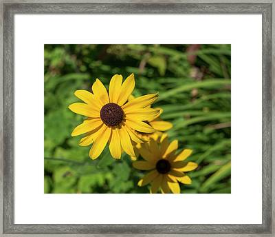 Sun Drenched Daisy Framed Print