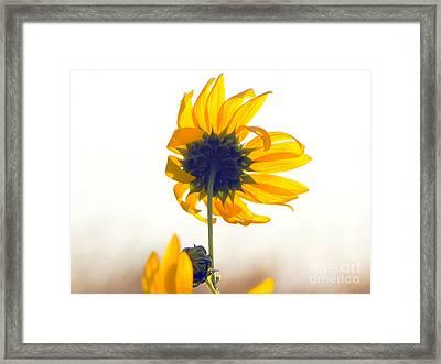 Sun Flower 101 Framed Print