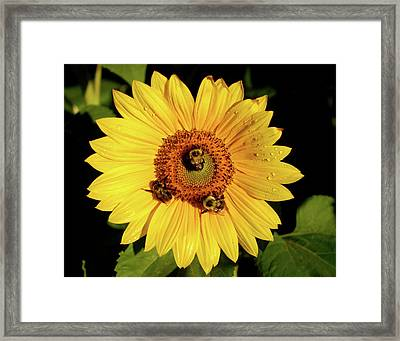 Sunflower And Bees Framed Print by Nancy Landry