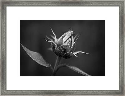 Sun Flower Blossom Bw Framed Print