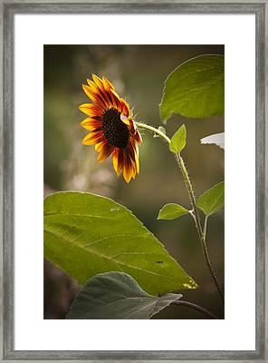 Sun Flower Framed Print by Chad Davis