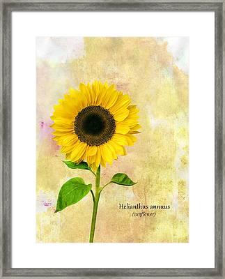 Sun Flower Framed Print by Mark Rogan