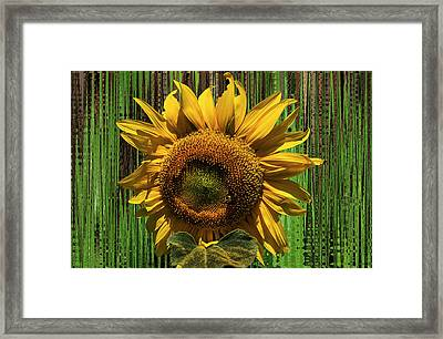 Sun Flower1 Framed Print by Douglas Miller