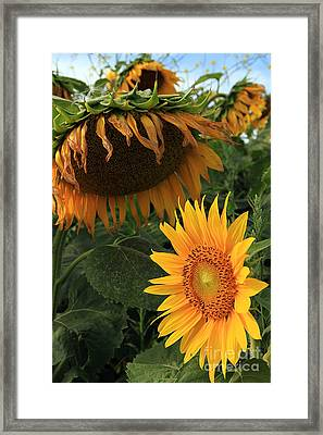 Sun Flowers  Past  And  Present  Framed Print