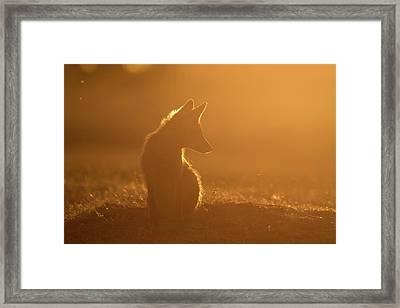 Sun Gazing Fox Framed Print by Roeselien Raimond
