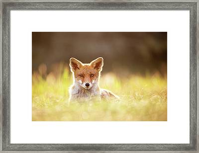 Sun Gazing Red Fox Framed Print