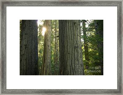 Sun In The Cedars Framed Print by Idaho Scenic Images Linda Lantzy