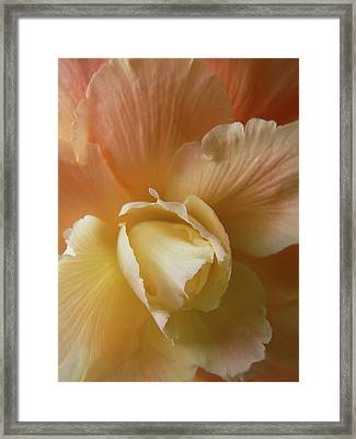 Sun Kissed Begonia Flower Framed Print by Jennie Marie Schell