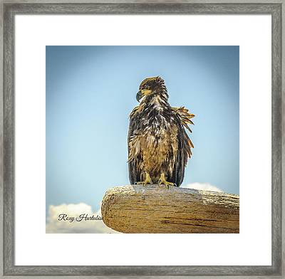 Sun Kissed Eagle Framed Print