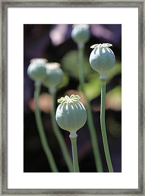 Sun Kissed Poppy Pods Framed Print
