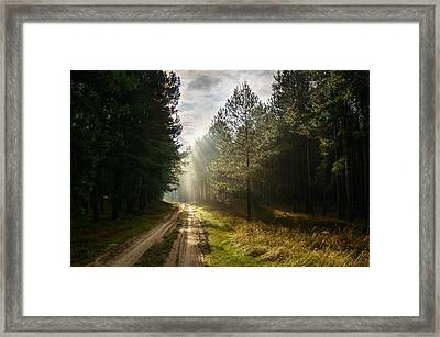 Sun Light At Pine Forest Framed Print