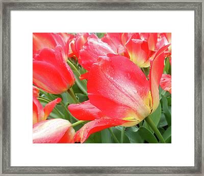 Sun Lights Tulips After Spring Rain Framed Print