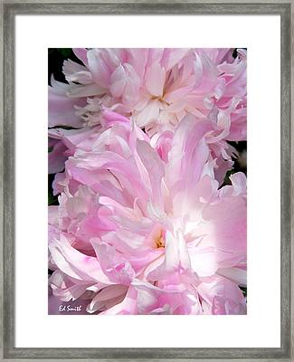 Sun Lit Peonies Framed Print by Ed Smith