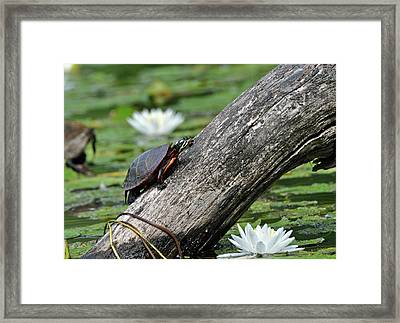 Framed Print featuring the photograph Turtle Sunbathing by Glenn Gordon