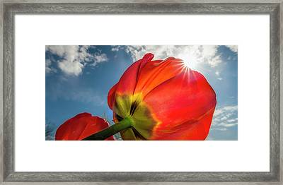 Framed Print featuring the photograph Sunbeams And Tulips by Adam Romanowicz