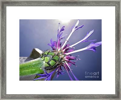 Sunburst Cornflower Framed Print by Richard Brookes