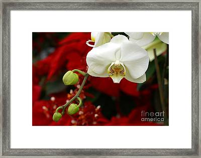Sunday Afternoon Orchid Framed Print