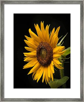 Sunflower From Birds Food Framed Print