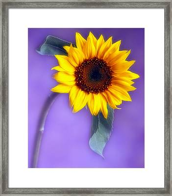 Sunflower 1 Framed Print by Joseph Gerges