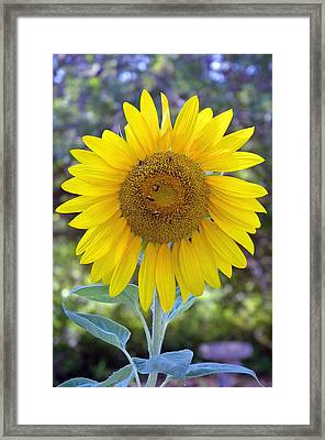 Sunflower 1 Framed Print by Mickie Boothroyd