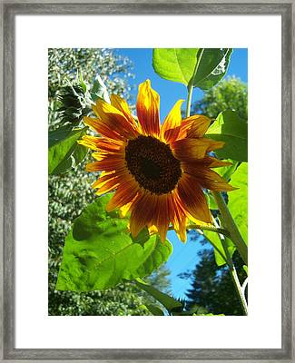 Sunflower 101 Framed Print by Ken Day