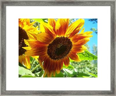 Sunflower 104 Framed Print by Ken Day