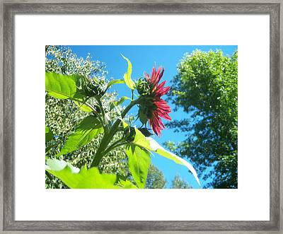 Sunflower 105 Framed Print by Ken Day