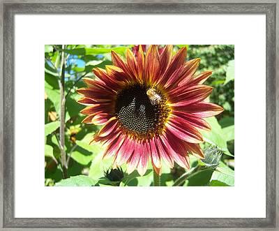 Sunflower 108 Framed Print by Ken Day