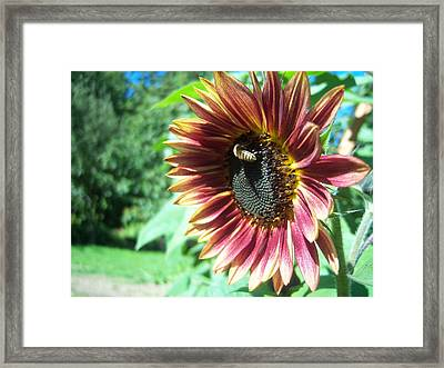 Sunflower 109 Framed Print by Ken Day